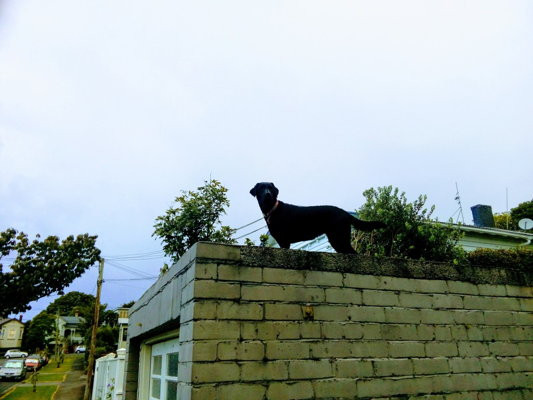 Black Labrador standing on top of a garage next to the sidewalk